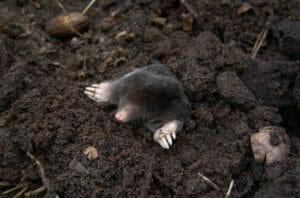Nützliche Gartenhelfer – Maulwurf